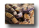Mighty Boa Constrictor