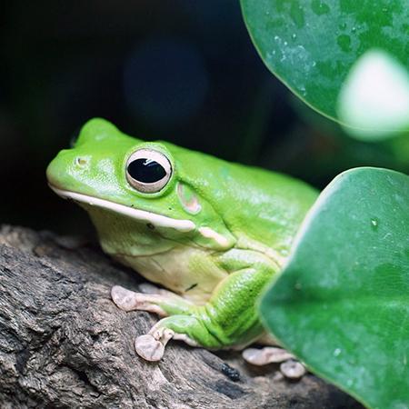 green-tree-frog-942682_960_720