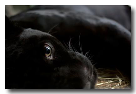 PantherAlexander_Mozymovshutterstock400_107406065