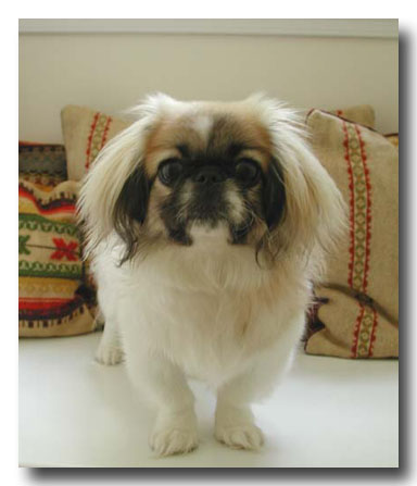 The Pekinese or Foo Dog. This image is licensed under the Creative Commons and was provided by Jon Radoff and Angela Bull on PetWiki.