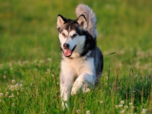 AlaskanMalamuteAnetaPics400shutterstock_66332254