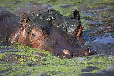 Hippo400Alan Jefferyshutterstock_152551757Hippo