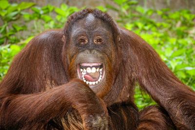 MonkeyApeOrangutan400Rob Hainershutterstock_143294194