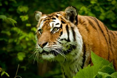 TigerArangan_Ananth400shutterstock_108641777