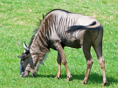 Wildebeestgopause400shutterstock_115754704