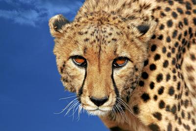 Cheetah400Bildagentur Zoonar GmbHshutterstock_158148365Cheetah