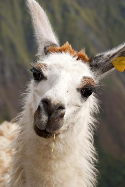 Llama400Gargoniashutterstock_170487491