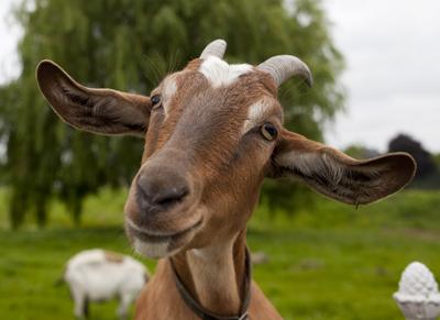 Goat400NikkiHoffshutterstock_150095264Goat