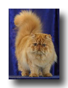 Peke-Faced Red Persian