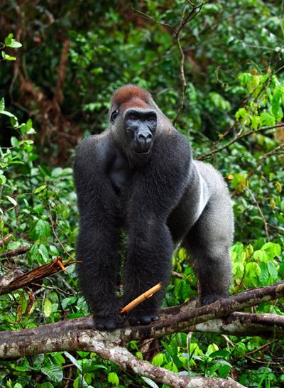 Gorilla-Lowland400Sergey_Uryadnikovshutterstock_89977699