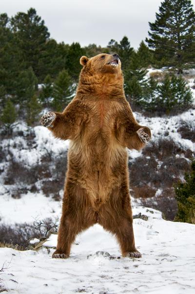 GrizzlyBear400Scott_E_Readshutterstock_80256091