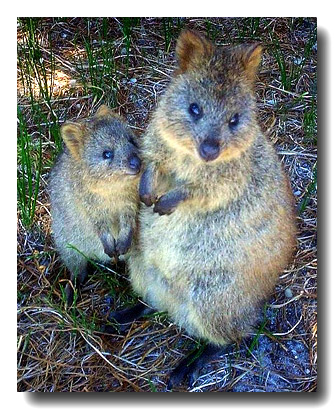 Portuguese might have been first Europeans to discover Australia, hints tiny drawing  Quokka300