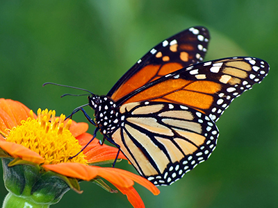 ButterflyMonarchJames_Laurie400x300shutterstock_57609622