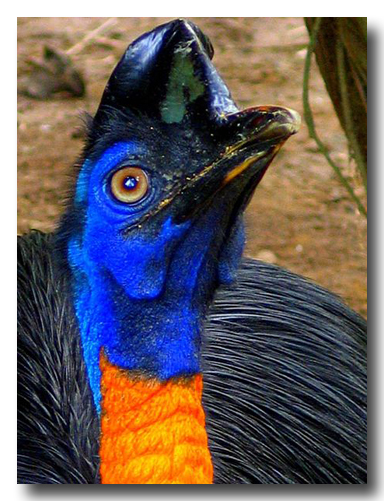 Cassowary (Flightless Bird)Photo Credit: http://en.wikipedia.org/wiki/File: Casuarius unappendiculatus-Northern Cassowary -head_and_chin.jpg