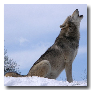 Dakota, a Grey Wolf at the UK Wolf Conservation Trust, howling atop a snowy hill.
