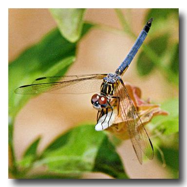 Dragonfly Image Credit to Wikipedia Author: Koyaanis Qatsi