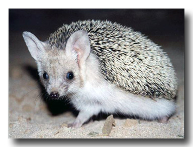 Hedgehog - A Public Domain Image