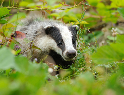 shutterstock_153103328Badger400Volodymyr Burdiak