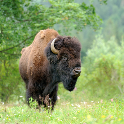 BisonVolodymyr Burdiak400shutterstock_146484395Bison