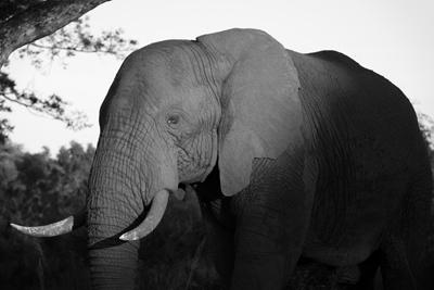 ElephantAfricanJoseph_D_Anthony400shutterstock_207879853