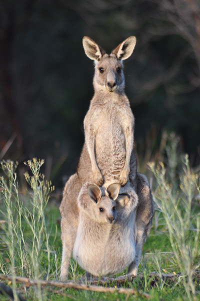 KangarooGrey400Jiri Haureljukshutterstock_47613169KangarooGrey