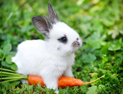 RabbitNataliia_Melnychuk400shutterstock_160546226