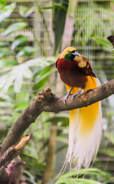 BirdofParadiseParinya_Hirunthitima400shutterstock_130001882