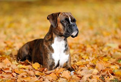 BoxerLarsTuchel400shutterstock_117260971