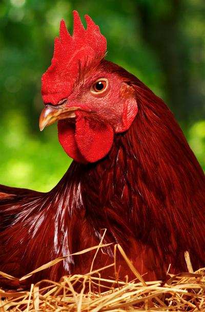 ChickenDenisNata400shutterstock_62706505