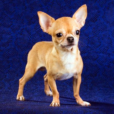 ChihuahuaShortCoatSergey_Lavrentev400shutterstock_71770525