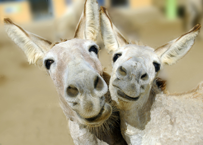 DonkeysBlue_Iris400shutterstock_126148070