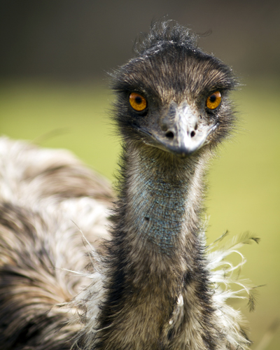 EmuGunnar_Rathbun400shutterstock_135081374