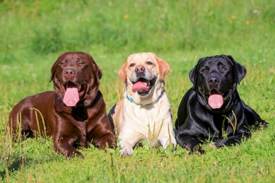 LabradorsMarina_Jay400shutterstock_126021596