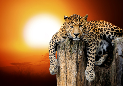 LeopardVolodymyr_Burdiak400shutterstock_201578996