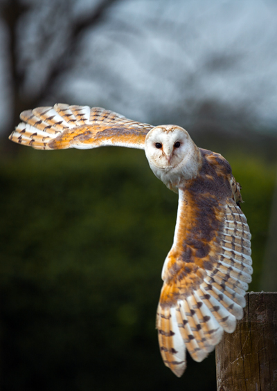 OwlBarnOwlShaunWilkinson400shutterstock_192136814