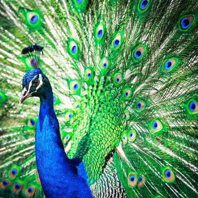 Peacockl i g h t p o e t400shutterstock_153507044