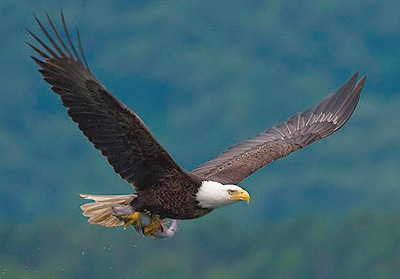 Bald Eagle By Yathin S Krishnappa Own work CC BY SA 30 https commons wikimedia org windex ph pcurid 21436759