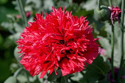 Carnation400