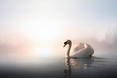 SwanKonstanttin400shutterstock_135427394