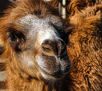 CamelBactrian