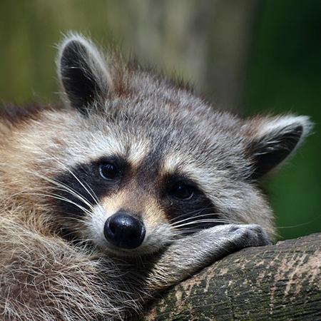 Dreamy, Romantic, Raccoon!