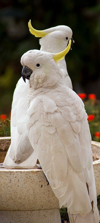 cockatoo-sulphur-crested