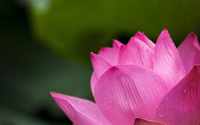 lotus-614494_960_720