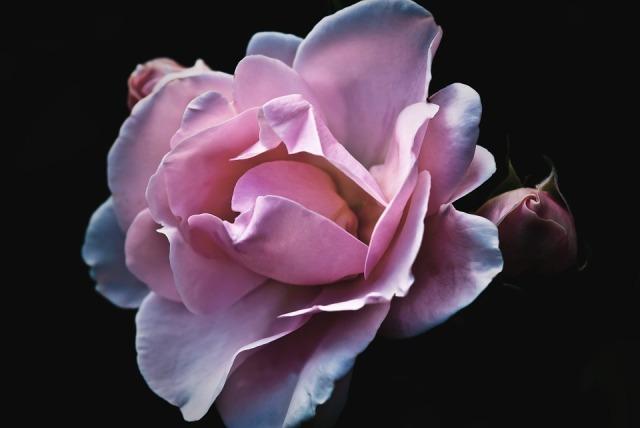 roses-56702_960_720