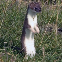 Stoat Reflection