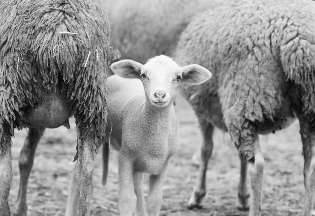 sheep-1684536_960_720