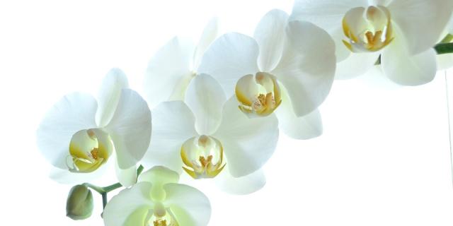 orchids-2718424_960_720